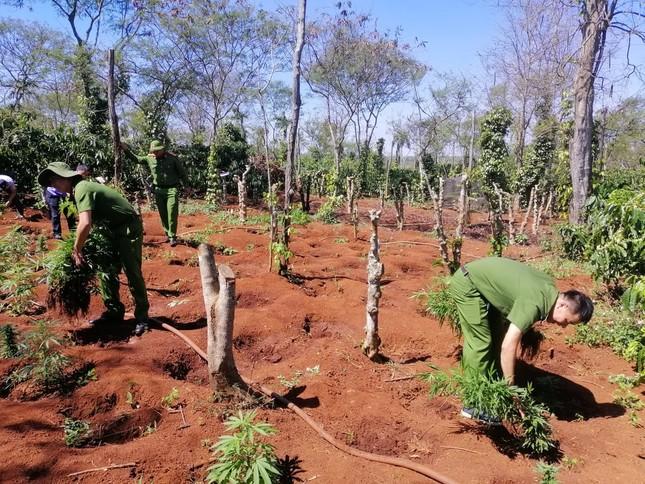 Phát hiện 'nông trại' trồng hơn 1.500 cây cần sa của hai anh em ruột ở Đắk Lắk ảnh 1
