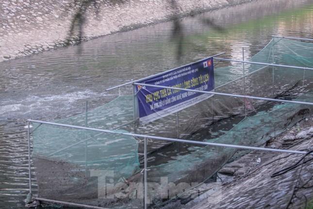 Xuất hiện nhiều cá chết ngoài khu thí điểm thả cá Koi ở Hồ Tây, sông Tô Lịch ảnh 11