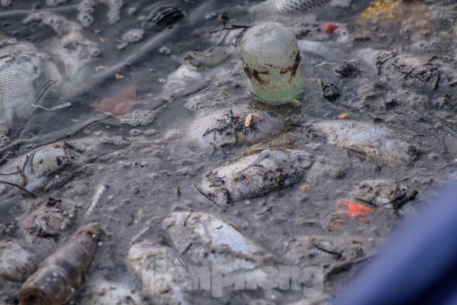 Xuất hiện nhiều cá chết ngoài khu thí điểm thả cá Koi ở Hồ Tây, sông Tô Lịch ảnh 3