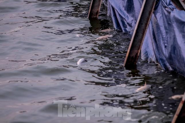 Xuất hiện nhiều cá chết ngoài khu thí điểm thả cá Koi ở Hồ Tây, sông Tô Lịch ảnh 5