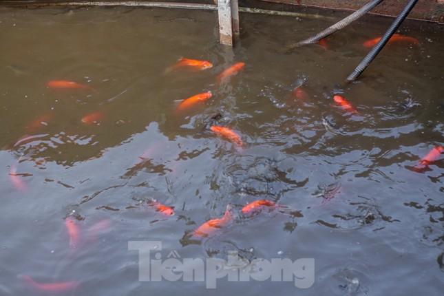 Xuất hiện nhiều cá chết ngoài khu thí điểm thả cá Koi ở Hồ Tây, sông Tô Lịch ảnh 6