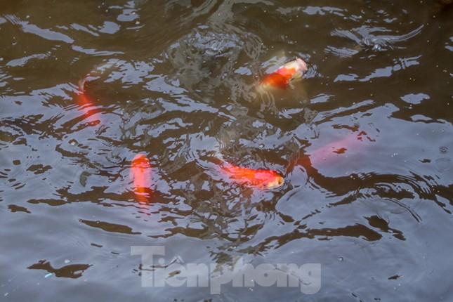 Xuất hiện nhiều cá chết ngoài khu thí điểm thả cá Koi ở Hồ Tây, sông Tô Lịch ảnh 7