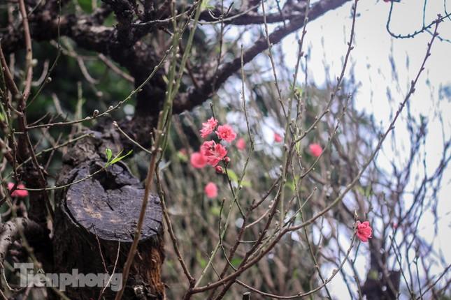 Đào rừng cổ thụ có giá thuê hơn trăm triệu xuống phố Hà Nội ảnh 11
