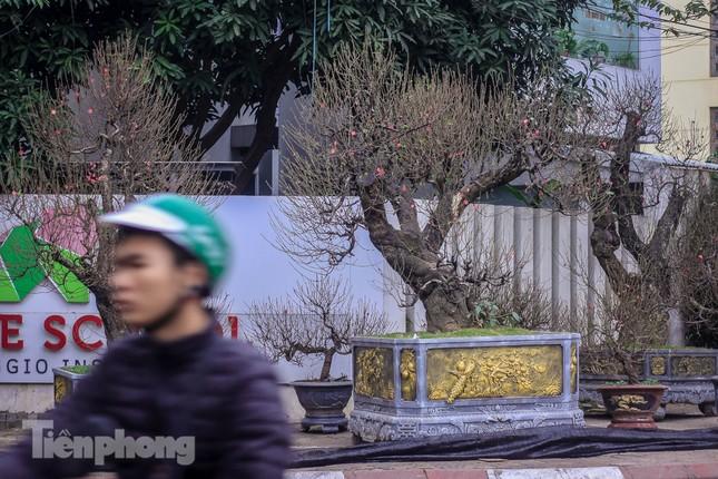 Đào rừng cổ thụ có giá thuê hơn trăm triệu xuống phố Hà Nội ảnh 1