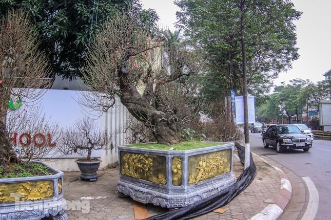 Đào rừng cổ thụ có giá thuê hơn trăm triệu xuống phố Hà Nội ảnh 2