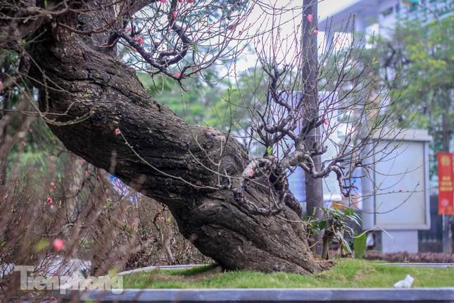 Đào rừng cổ thụ có giá thuê hơn trăm triệu xuống phố Hà Nội ảnh 3