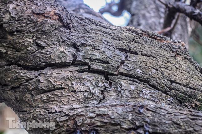 Đào rừng cổ thụ có giá thuê hơn trăm triệu xuống phố Hà Nội ảnh 4