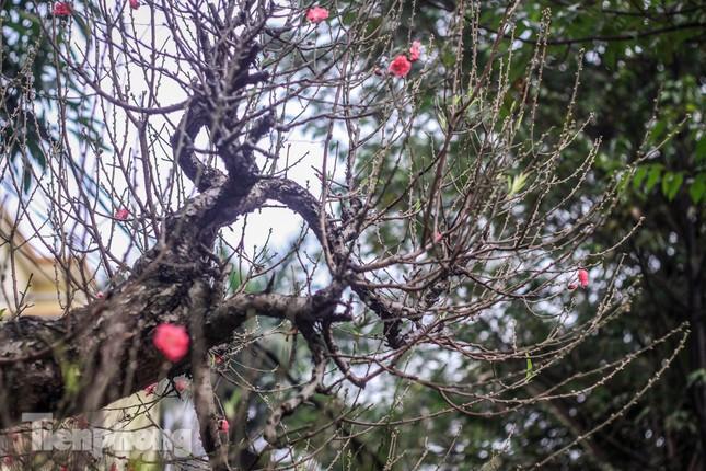 Đào rừng cổ thụ có giá thuê hơn trăm triệu xuống phố Hà Nội ảnh 5