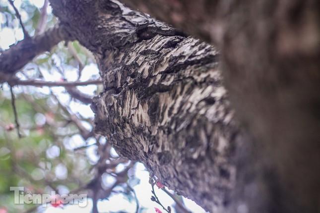 Đào rừng cổ thụ có giá thuê hơn trăm triệu xuống phố Hà Nội ảnh 6