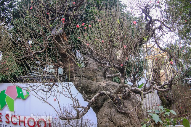 Đào rừng cổ thụ có giá thuê hơn trăm triệu xuống phố Hà Nội ảnh 7