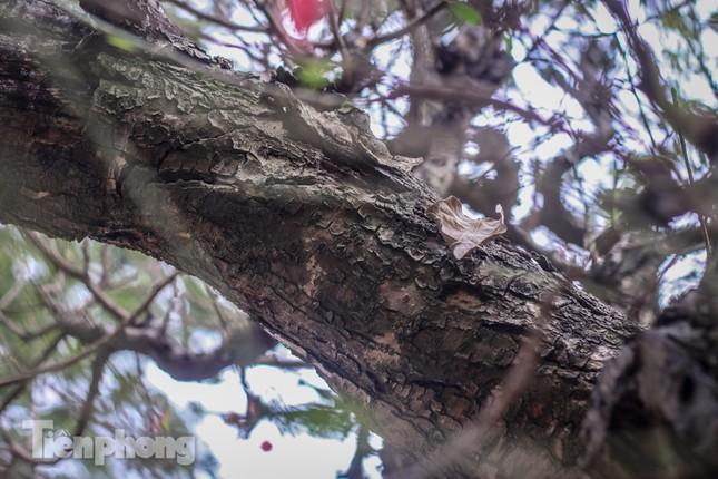 Đào rừng cổ thụ có giá thuê hơn trăm triệu xuống phố Hà Nội ảnh 8