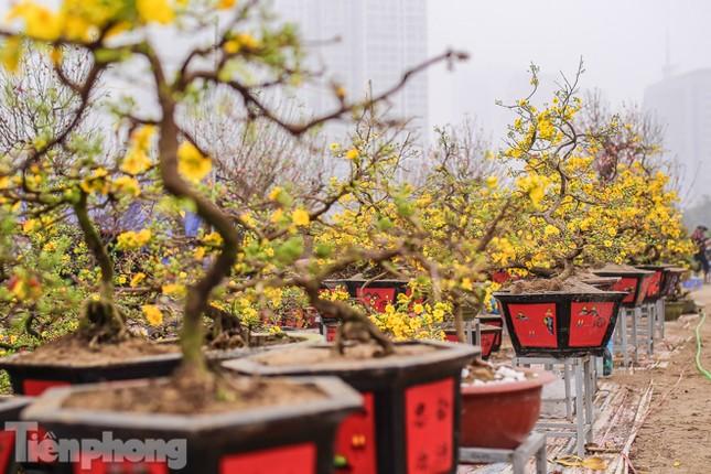 Mai vàng 'đổ bộ' phố phường Hà Nội ngày cận Tết ảnh 1