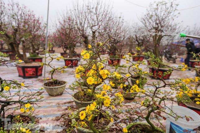 Mai vàng 'đổ bộ' phố phường Hà Nội ngày cận Tết ảnh 3