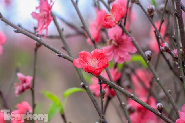 Đào bung nở sớm, người dân Nhật Tân thấp thỏm lo 'trắng tay' ảnh 11
