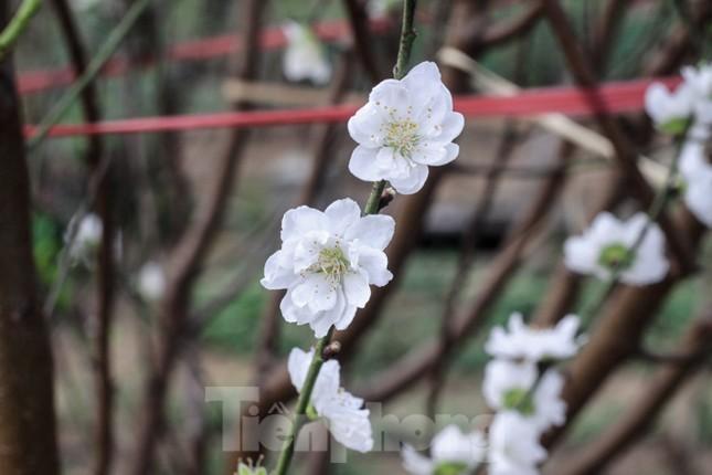 Đào cánh trắng hiếm có bạc triệu xuất hiện ở Nhật Tân ảnh 3