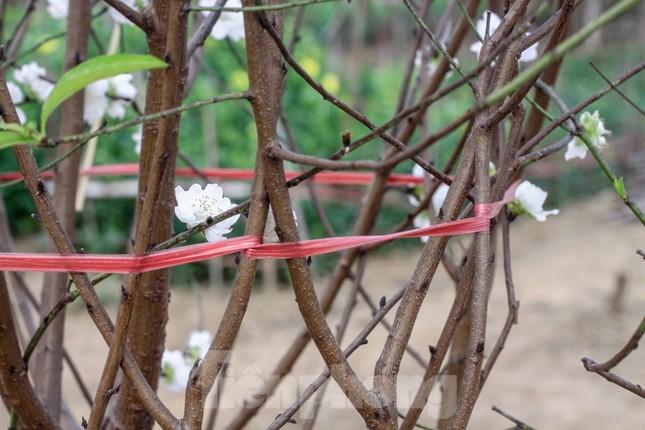 Đào cánh trắng hiếm có bạc triệu xuất hiện ở Nhật Tân ảnh 7