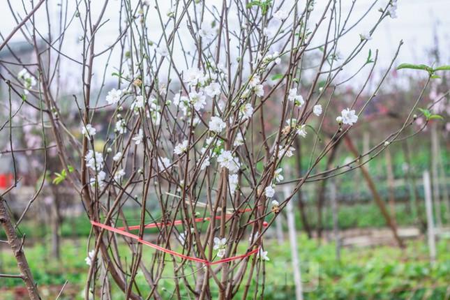 Đào cánh trắng hiếm có bạc triệu xuất hiện ở Nhật Tân ảnh 8
