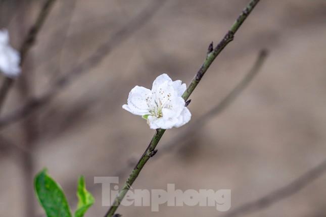 Đào cánh trắng hiếm có bạc triệu xuất hiện ở Nhật Tân ảnh 9