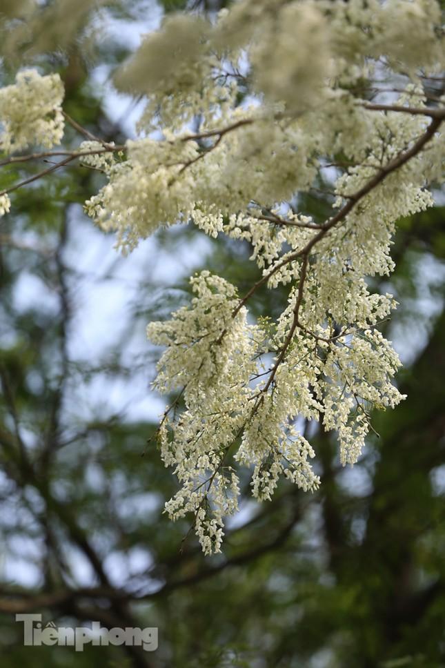 Hà Nội 'nhuộm' trắng tinh khôi với màu hoa sưa ảnh 10