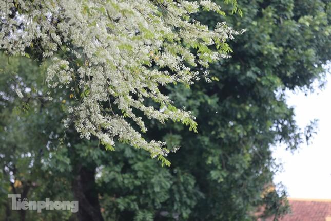Hà Nội 'nhuộm' trắng tinh khôi với màu hoa sưa ảnh 3