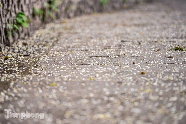 Hà Nội 'nhuộm' trắng tinh khôi với màu hoa sưa ảnh 5
