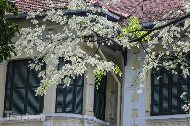 Hà Nội 'nhuộm' trắng tinh khôi với màu hoa sưa ảnh 8