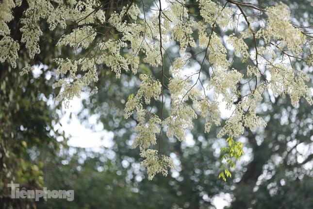 Hà Nội 'nhuộm' trắng tinh khôi với màu hoa sưa ảnh 9