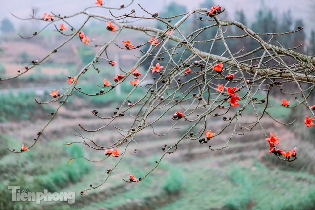 Ngẩn ngơ mùa hoa gạo vùng cao nguyên đá Hà Giang ảnh 6