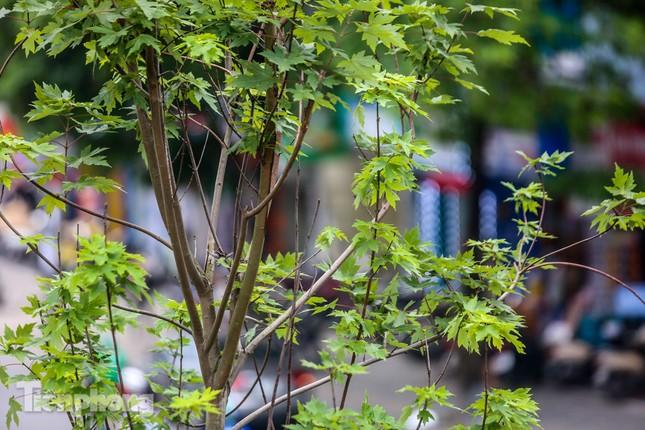 Hàng phong lá đỏ ở phố trung tâm Hà Nội giờ ra sao? ảnh 11