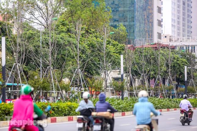 Hàng phong lá đỏ ở phố trung tâm Hà Nội giờ ra sao? ảnh 13