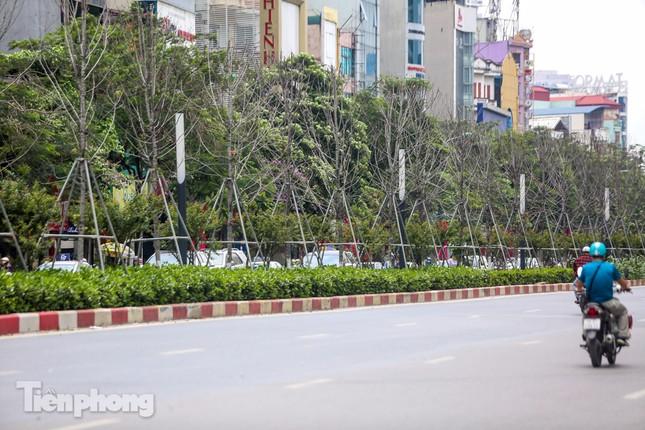 Hàng phong lá đỏ ở phố trung tâm Hà Nội giờ ra sao? ảnh 2