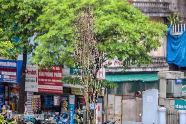 Hàng phong lá đỏ ở phố trung tâm Hà Nội giờ ra sao? ảnh 3
