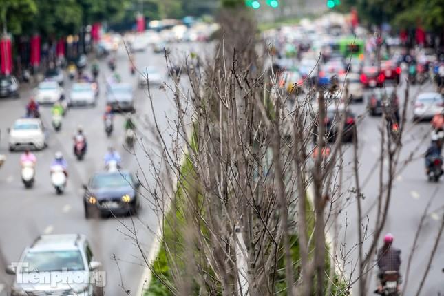 Hàng phong lá đỏ ở phố trung tâm Hà Nội giờ ra sao? ảnh 4
