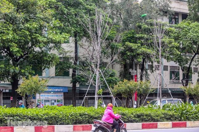 Hàng phong lá đỏ ở phố trung tâm Hà Nội giờ ra sao? ảnh 5