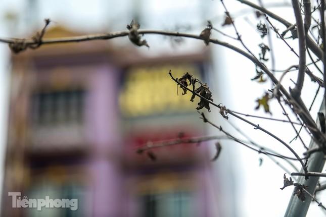 Hàng phong lá đỏ ở phố trung tâm Hà Nội giờ ra sao? ảnh 7