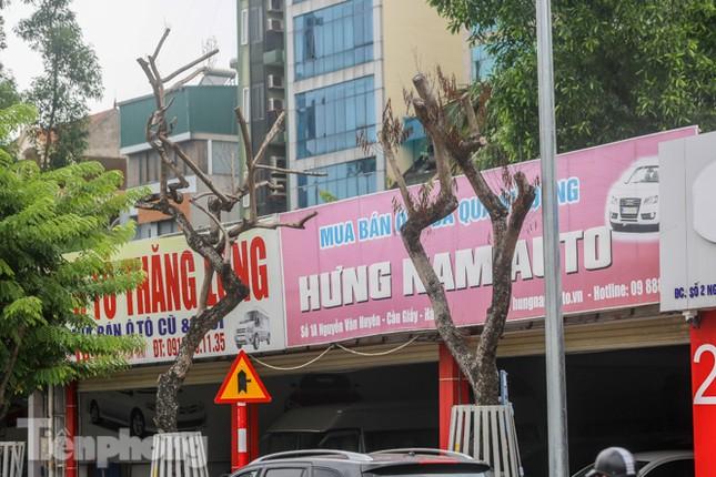 Được 'cấp cứu' liên tục, hàng sưa đỏ phố Nguyễn Văn Huyên vẫn héo úa ảnh 1