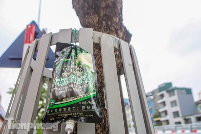 Được 'cấp cứu' liên tục, hàng sưa đỏ phố Nguyễn Văn Huyên vẫn héo úa ảnh 2