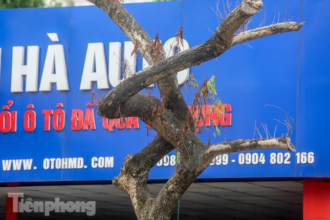 Được 'cấp cứu' liên tục, hàng sưa đỏ phố Nguyễn Văn Huyên vẫn héo úa ảnh 6