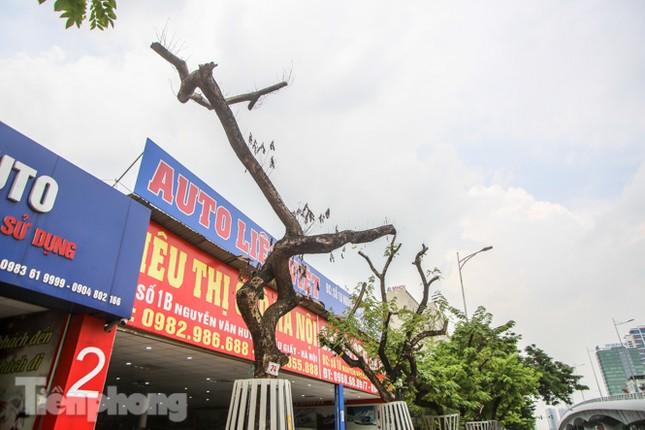 Được 'cấp cứu' liên tục, hàng sưa đỏ phố Nguyễn Văn Huyên vẫn héo úa ảnh 8