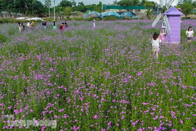 Thảm hoa tím lãng mạn ở Hà Nội hút đông đảo nữ sinh đến 'check-in' ảnh 8