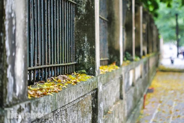 Lá phủ vàng con phố trong tiết trời chuyển sang thu ở Hà Nội ảnh 8