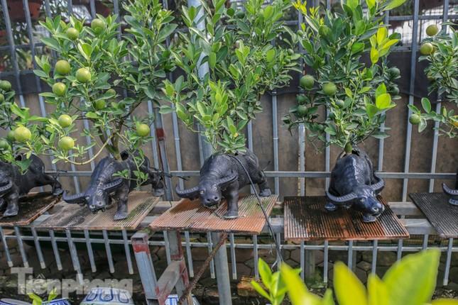 Độc đáo quất bonsai 'ngự' trên lưng trâu giá chục triệu ảnh 10