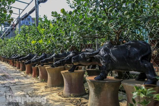 Độc đáo quất bonsai 'ngự' trên lưng trâu giá chục triệu ảnh 3