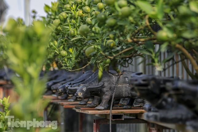 Độc đáo quất bonsai 'ngự' trên lưng trâu giá chục triệu ảnh 6