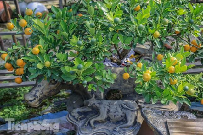 Độc đáo quất bonsai 'ngự' trên lưng trâu giá chục triệu ảnh 7