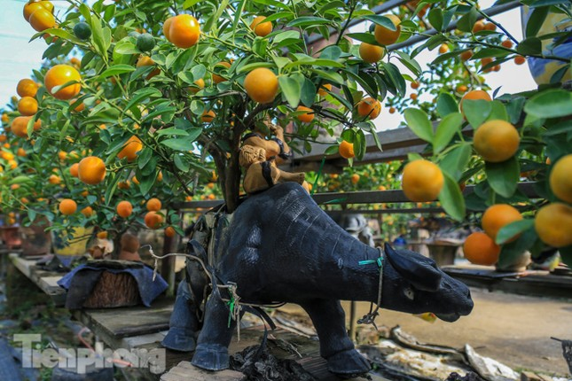Độc đáo quất bonsai 'ngự' trên lưng trâu giá chục triệu ảnh 9