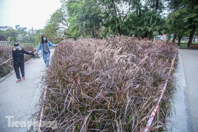 Ngất lịm trước cỏ lau màu tím bên bờ hồ Hoàn Kiếm ảnh 5