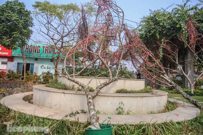 Tận thấy những cành đào dán tem đầu tiên xuất hiện tại Hà Nội ảnh 5