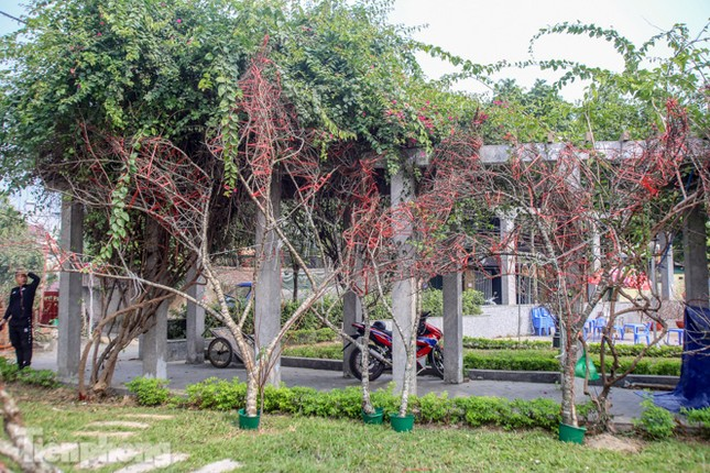Tận thấy những cành đào dán tem đầu tiên xuất hiện tại Hà Nội ảnh 6