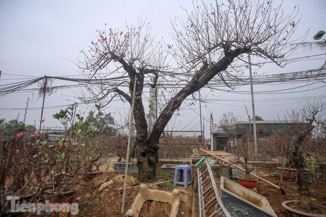 Sở hữu đào cổ thụ cao hơn 3m, chủ vườn quyết 'giữ lộc' không bán ảnh 1